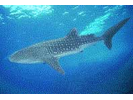 Whale Shark - Carpet Shark<br>(<i>Rhincodon typus</i>)