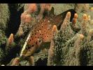 Spotted Soapfish - Seabass<br>(<i>Rypticus subbifrenatus</i>)