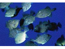 Rough Triggerfish - Triggerfish<br>(<i>Canthidermis maculatus</i>)