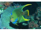 Townsend Angelfish (Hybrid Queen/Blue) - Angelfish<br>(<i>Holacanthus sp. (Hybrid)</i>)