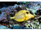 Golden Smooth Trunkfish - Boxfish<br>(<i>Lactophrys triqueter</i>)