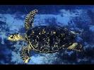 Hawksbill Sea Turtle - Sea Turtles<br>(<i>Eretmochelys imbricata</i>)