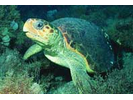 Loggerhead Sea Turtle - Sea Turtles<br>(<i>Caretta caretta</i>)
