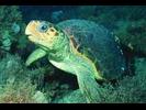 Loggerhead Sea Turtle - Sea Turtles<br>(<i>Caretta caretta</i>)