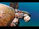 Green Sea Turtle w/ FP Tumor - Sea Turtles<br>(<i>Chelonia mydas</i>)