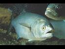 Bluefish - Bluefish<br>(<i>Pomatomus saltatrix</i>)