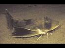 Northern Searobin - Searobin<br>(<i>Prionotus carolinus</i>)