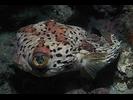 Balloonfish - Porcupinefish<br>(<i>Diodon holocanthus</i>)