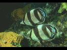 Banded Butterflyfish - Butterflyfish<br>(<i>Chaetodon striatus</i>)
