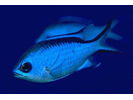Blue Chromis - Damselfish<br>(<i>Chromis cyanea</i>)