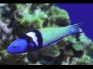 Bluehead - Wrasse<br>(<i>Thalassoma bifasciatum</i>)