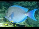 Blue Tang - Surgeonfish<br>(<i>Acanthurus coeruleus</i>)