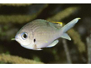 Brown Chromis - Damselfish<br>(<i>Chromis multilineata</i>)