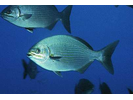 Bermuda Chub/Gray Chub - Chub<br>(<i>Kyphosus sectatrix / K. bigibbus</i>)