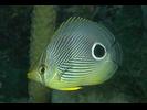 Foureye Butterflyfish - Butterflyfish<br>(<i>Chaetodon capistratus</i>)