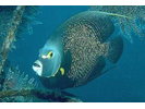 French Angelfish - Angelfish<br>(<i>Pomacanthus paru</i>)