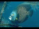 Lemonpeel Angelfish - Angelfish<br>(<i>Centropyge flavissima</i>)