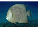 Gray Angelfish - Angelfish<br>(<i>Pomacanthus arcuatus</i>)