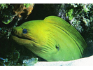 Green Moray - Moray<br>(<i>Gymnothorax funebris</i>)
