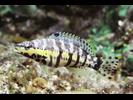 Harlequin Bass - Seabass<br>(<i>Serranus tigrinus</i>)