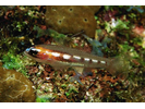 Masked Goby/Glass Goby - Goby<br>(<i>Coryphopterus personatus/hyalinus</i>)