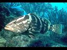 Nassau Grouper - Seabass<br>(<i>Epinephelus striatus</i>)