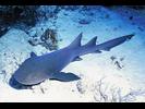 Nurse Shark - Carpet Shark (<i>Ginglymostoma cirratum</i>)