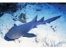 Nurse Shark - Carpet Shark<br>(<i>Ginglymostoma cirratum</i>)