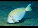 Ocean Surgeonfish - Surgeonfish<br>(<i>Acanthurus tractus</i>)