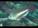 Queen Parrotfish - Parrotfish<br>(<i>Scarus vetula</i>)