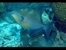 Queen Triggerfish - Triggerfish<br>(<i>Balistes vetula</i>)