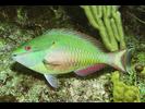 Redband Parrotfish - Parrotfish<br>(<i>Sparisoma aurofrenatum</i>)
