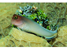 Redlip Blenny - Blenny - Combtooth<br>(<i>Ophioblennius macclurei</i>)