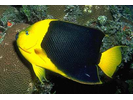 Rock Beauty - Angelfish<br>(<i>Holacanthus tricolor</i>)