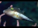 Sharpnose Puffer - Puffer<br>(<i>Canthigaster rostrata</i>)