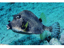 Smooth Trunkfish - Boxfish<br>(<i>Lactophrys triqueter</i>)