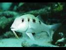 Spotted Goatfish - Goatfish<br>(<i>Pseudupeneus maculatus</i>)