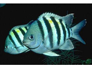 Sergeant Major - Damselfish<br>(<i>Abudefduf saxatilis</i>)