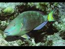 Stoplight Parrotfish - Parrotfish<br>(<i>Sparisoma viride</i>)