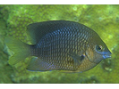 Threespot Damselfish - Damselfish<br>(<i>Stegastes planifrons</i>)