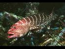 Tiger Grouper - Seabass<br>(<i>Mycteroperca tigris</i>)