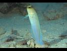 Yellowhead Jawfish - Jawfish<br>(<i>Opistognathus aurifrons</i>)