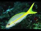 Yellowtail Snapper - Snapper<br>(<i>Ocyurus chrysurus</i>)