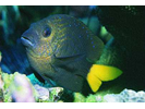 Yellowtail Damselfish - Damselfish<br>(<i>Microspathodon chrysurus</i>)