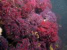 Northern Feather Duster Worm - Annelids<br>(<i>Eudistylia vancouveri</i>)