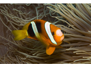 Clark's Anemonefish - Damselfish<br>(<i>Amphiprion clarkii</i>)