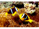 Orangefin Anemonefish - Damselfish<br>(<i>Amphiprion chrysopterus</i>)