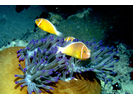 Pink Anemonefish - Damselfish<br>(<i>Amphiprion perideraion</i>)