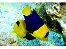 Bicolor Angelfish - Angelfish<br>(<i>Centropyge bicolor</i>)