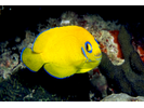 Lemonpeel Angelfish - Angelfish<br>(<i>Centropyge flavissima</i>)